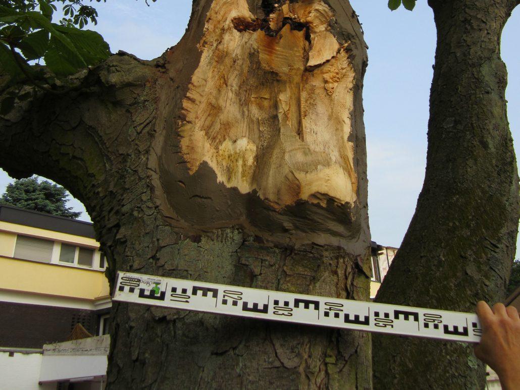 Baumgutachten Baumkontrollen für den Großraum Osnabrück Ibbenbüren Baumkontrolle Privatgrundstück Baumgutachten Ibbenbüren Lotte Westerkappeln