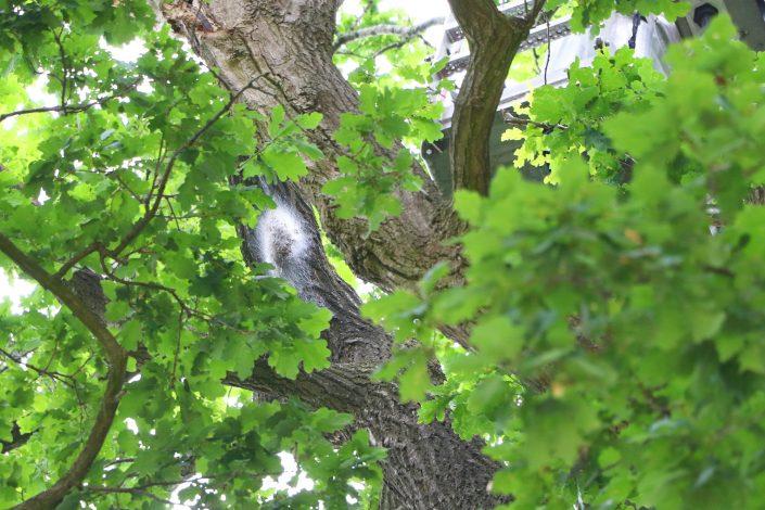 Eichenprozessionsspinner Nest