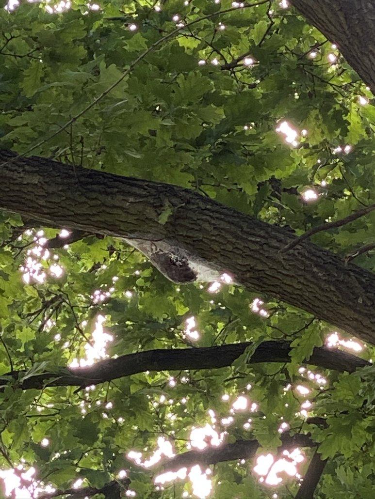 aktives Nest im Baum vor dem Heißschaum-Einsatz