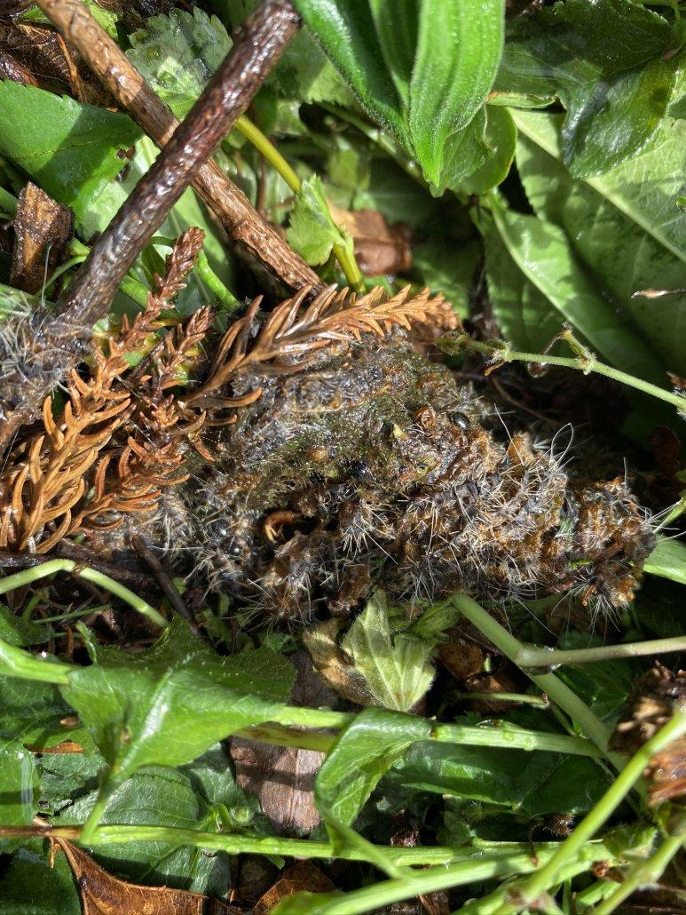 verkochtes Nest mit unschädlichen Brennhaaren