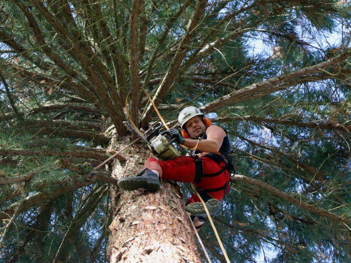 Baumklettern von Großbäumen im Raum Osnabrück Ibbenbüren Bramsche Rheine Westerkappeln Baumschnitt Seilklettertechnik Foto