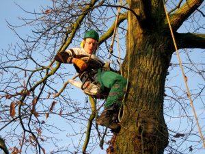 Fotos Osnabrück Baumkletterer mit Seilklettertechnik Baumpfleger Ibbenbüren Osnabrück Baumschnitt Lotte Westerkappeln Recke Bramsche